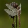 Paprastoji skėtė - Sympetrum vulgatum ♀   Fotografijos autorius : Žilvinas Pūtys   © Macrogamta.lt   Šis tinklapis priklauso bendruomenei kuri domisi makro fotografija ir fotografuoja gyvąjį makro pasaulį.