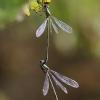 Didžioji strėliukė - Chalcolestes viridis | Fotografijos autorius : Agnė Našlėnienė | © Macrogamta.lt | Šis tinklapis priklauso bendruomenei kuri domisi makro fotografija ir fotografuoja gyvąjį makro pasaulį.