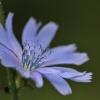 Paprastoji trūkažolė - Cichorium intybus | Fotografijos autorius : Agnė Našlėnienė | © Macrogamta.lt | Šis tinklapis priklauso bendruomenei kuri domisi makro fotografija ir fotografuoja gyvąjį makro pasaulį.