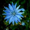 Paprastoji trūkažolė - Cichorium intybus | Fotografijos autorius : Aleksandras Stabrauskas | © Macrogamta.lt | Šis tinklapis priklauso bendruomenei kuri domisi makro fotografija ir fotografuoja gyvąjį makro pasaulį.