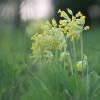 Pavasarinė raktažolė – Primula veris | Fotografijos autorius : Agnė Našlėnienė | © Macrogamta.lt | Šis tinklapis priklauso bendruomenei kuri domisi makro fotografija ir fotografuoja gyvąjį makro pasaulį.