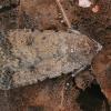 Naminis dykrinukas - Caradrina clavipalpis | Fotografijos autorius : Gintautas Steiblys | © Macrogamta.lt | Šis tinklapis priklauso bendruomenei kuri domisi makro fotografija ir fotografuoja gyvąjį makro pasaulį.