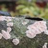 Vaškuotė - Peniophora polygonia | Fotografijos autorius : Vytautas Gluoksnis | © Macrogamta.lt | Šis tinklapis priklauso bendruomenei kuri domisi makro fotografija ir fotografuoja gyvąjį makro pasaulį.