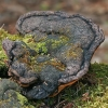 Raudonkraštė pintainė - Fomitopsis pinicola | Fotografijos autorius : Gintautas Steiblys | © Macrogamta.lt | Šis tinklapis priklauso bendruomenei kuri domisi makro fotografija ir fotografuoja gyvąjį makro pasaulį.