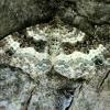 Pievinė cidarija - Epirrhoe alternata | Fotografijos autorius : Ramunė Vakarė | © Macrogamta.lt | Šis tinklapis priklauso bendruomenei kuri domisi makro fotografija ir fotografuoja gyvąjį makro pasaulį.