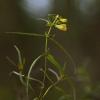 Pievinis kūpolis – Melampyrum pratense | Fotografijos autorius : Vidas Brazauskas | © Macrogamta.lt | Šis tinklapis priklauso bendruomenei kuri domisi makro fotografija ir fotografuoja gyvąjį makro pasaulį.