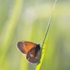 Pievinis satyriukas - Coenonympha tullia | Fotografijos autorius : Marius Čepulis | © Macrogamta.lt | Šis tinklapis priklauso bendruomenei kuri domisi makro fotografija ir fotografuoja gyvąjį makro pasaulį.