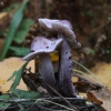 Pilkalakštė plaušabudė - Inocybe geophylla var. lilacina | Fotografijos autorius : Vytautas Gluoksnis | © Macrogamta.lt | Šis tinklapis priklauso bendruomenei kuri domisi makro fotografija ir fotografuoja gyvąjį makro pasaulį.