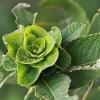 Pilkojo karklo - Salix cinerea rožė | Fotografijos autorius : Gintautas Steiblys | © Macrogamta.lt | Šis tinklapis priklauso bendruomenei kuri domisi makro fotografija ir fotografuoja gyvąjį makro pasaulį.
