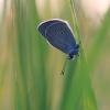 Pilkasis melsvys - Polyommatus semiargus | Fotografijos autorius : Agnė Našlėnienė | © Macrogamta.lt | Šis tinklapis priklauso bendruomenei kuri domisi makro fotografija ir fotografuoja gyvąjį makro pasaulį.