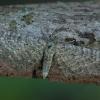 Pilkasis sprindytis - Eupithecia satyrata | Fotografijos autorius : Žilvinas Pūtys | © Macrogamta.lt | Šis tinklapis priklauso bendruomenei kuri domisi makro fotografija ir fotografuoja gyvąjį makro pasaulį.