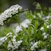 Pilkoji lanksva | Spiraea cinerea | Fotografijos autorius : Darius Baužys | © Macrogamta.lt | Šis tinklapis priklauso bendruomenei kuri domisi makro fotografija ir fotografuoja gyvąjį makro pasaulį.