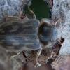 Pjūklavabalis - Heterocerus marginatus | Fotografijos autorius : Žilvinas Pūtys | © Macrogamta.lt | Šis tinklapis priklauso bendruomenei kuri domisi makro fotografija ir fotografuoja gyvąjį makro pasaulį.