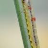 Pjūklelis - Dolerus sp.? lerva | Fotografijos autorius : Arūnas Eismantas | © Macrogamta.lt | Šis tinklapis priklauso bendruomenei kuri domisi makro fotografija ir fotografuoja gyvąjį makro pasaulį.
