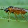 Pjūklelis - Nematus sp. ♀ | Fotografijos autorius : Žilvinas Pūtys | © Macrogamta.lt | Šis tinklapis priklauso bendruomenei kuri domisi makro fotografija ir fotografuoja gyvąjį makro pasaulį.