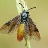 Pjūklelis - Arge fuscipennis | Fotografijos autorius : Gintautas Steiblys | © Macrogamta.lt | Šis tinklapis priklauso bendruomenei kuri domisi makro fotografija ir fotografuoja gyvąjį makro pasaulį.