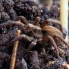 Pleištavoris - Alopecosa sp. | Fotografijos autorius : Žilvinas Pūtys | © Macrogamta.lt | Šis tinklapis priklauso bendruomenei kuri domisi makro fotografija ir fotografuoja gyvąjį makro pasaulį.