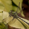 Pleištinis laumžirgis - Ophiogomphus cecilia | Fotografijos autorius : Vaida Paznekaitė | © Macrogamta.lt | Šis tinklapis priklauso bendruomenei kuri domisi makro fotografija ir fotografuoja gyvąjį makro pasaulį.