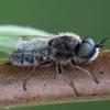 Plokščiamusė - Odontomyia argentata | Fotografijos autorius : Žilvinas Pūtys | © Macrogamta.lt | Šis tinklapis priklauso bendruomenei kuri domisi makro fotografija ir fotografuoja gyvąjį makro pasaulį.