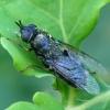 Plokščiamusė - Odontomyia tigrina ♀ | Fotografijos autorius : Romas Ferenca | © Macrogamta.lt | Šis tinklapis priklauso bendruomenei kuri domisi makro fotografija ir fotografuoja gyvąjį makro pasaulį.