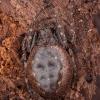 Plyšiamėgis landuolis - Nuctenea umbratica ♀ | Fotografijos autorius : Žilvinas Pūtys | © Macrogamta.lt | Šis tinklapis priklauso bendruomenei kuri domisi makro fotografija ir fotografuoja gyvąjį makro pasaulį.