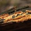 Auksuotasis lapielaižis - Pseudomerulius aureus  | Fotografijos autorius : Vytautas Gluoksnis | © Macrogamta.lt | Šis tinklapis priklauso bendruomenei kuri domisi makro fotografija ir fotografuoja gyvąjį makro pasaulį.
