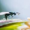 Pteromalidae | Fotografijos autorius : Oskaras Venckus | © Macrogamta.lt | Šis tinklapis priklauso bendruomenei kuri domisi makro fotografija ir fotografuoja gyvąjį makro pasaulį.