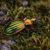 Puošniažygis - Carabus auronitens auronitens | Fotografijos autorius : Eugenijus Kavaliauskas | © Macrogamta.lt | Šis tinklapis priklauso bendruomenei kuri domisi makro fotografija ir fotografuoja gyvąjį makro pasaulį.