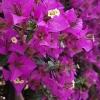 Puošnioji bugenvilija - Bougainvillea spectabilis | Fotografijos autorius : Gintautas Steiblys | © Macrogamta.lt | Šis tinklapis priklauso bendruomenei kuri domisi makro fotografija ir fotografuoja gyvąjį makro pasaulį.