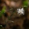 Smiltyninis gvazdikas - Dianthus arenarius | Fotografijos autorius : Saulius Drazdauskas | © Macrogamta.lt | Šis tinklapis priklauso bendruomenei kuri domisi makro fotografija ir fotografuoja gyvąjį makro pasaulį.