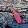 Purpurinis plokščiavabalis - Cucujus cinnaberinus | Fotografijos autorius : Romas Ferenca | © Macrogamta.lt | Šis tinklapis priklauso bendruomenei kuri domisi makro fotografija ir fotografuoja gyvąjį makro pasaulį.
