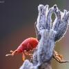 Rūgštyninis apionas - Apion frumentarium | Fotografijos autorius : Agnė Našlėnienė | © Macrogamta.lt | Šis tinklapis priklauso bendruomenei kuri domisi makro fotografija ir fotografuoja gyvąjį makro pasaulį.
