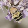 Raštuotasis auksavabalis – Trichius fasciatus | Fotografijos autorius : Giedrius Markevičius | © Macrogamta.lt | Šis tinklapis priklauso bendruomenei kuri domisi makro fotografija ir fotografuoja gyvąjį makro pasaulį.