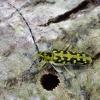 Raštuotasis drebulenis - Saperda scalaris | Fotografijos autorius : Romas Ferenca | © Macrogamta.lt | Šis tinklapis priklauso bendruomenei kuri domisi makro fotografija ir fotografuoja gyvąjį makro pasaulį.