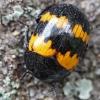 Raštuotasis juodvabalis - Diaperis boleti   Fotografijos autorius : Gintautas Steiblys   © Macrogamta.lt   Šis tinklapis priklauso bendruomenei kuri domisi makro fotografija ir fotografuoja gyvąjį makro pasaulį.