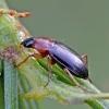 Raudonkrūtinis šukažygis - Calathus melanocephalus | Fotografijos autorius : Kazimieras Martinaitis | © Macrogamta.lt | Šis tinklapis priklauso bendruomenei kuri domisi makro fotografija ir fotografuoja gyvąjį makro pasaulį.