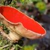 Raudonoji plačiataurė - Sarcoscypha coccinea | Fotografijos autorius : Gediminas Gražulevičius | © Macrogamta.lt | Šis tinklapis priklauso bendruomenei kuri domisi makro fotografija ir fotografuoja gyvąjį makro pasaulį.