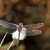 Raudonoji skėtė - Leucorrhinia rubicunda   Fotografijos autorius : Vidas Brazauskas   © Macrogamta.lt   Šis tinklapis priklauso bendruomenei kuri domisi makro fotografija ir fotografuoja gyvąjį makro pasaulį.