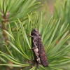 Raudonsparnis tarkšlys - Psophus stridulus | Fotografijos autorius : Zita Gasiūnaitė | © Macrogamta.lt | Šis tinklapis priklauso bendruomenei kuri domisi makro fotografija ir fotografuoja gyvąjį makro pasaulį.