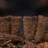 Rievėtoji miegė - Cyathus striatus | Fotografijos autorius : Žilvinas Pūtys | © Macrogamta.lt | Šis tinklapis priklauso bendruomenei kuri domisi makro fotografija ir fotografuoja gyvąjį makro pasaulį.