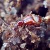 Rudasis graibvabalis - Pselaphus heisei | Fotografijos autorius : Romas Ferenca | © Macrogamta.lt | Šis tinklapis priklauso bendruomenei kuri domisi makro fotografija ir fotografuoja gyvąjį makro pasaulį.