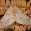 Rudasis rudeninis sprindžius - Colotois pennaria ♀ | Fotografijos autorius : Žilvinas Pūtys | © Macrogamta.lt | Šis tinklapis priklauso bendruomenei kuri domisi makro fotografija ir fotografuoja gyvąjį makro pasaulį.