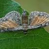 Rudasparnis sprindytis - Eupithecia icterata | Fotografijos autorius : Gintautas Steiblys | © Macrogamta.lt | Šis tinklapis priklauso bendruomenei kuri domisi makro fotografija ir fotografuoja gyvąjį makro pasaulį.