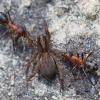 Rudoji miško skruzdėlė - Formica rufa | Fotografijos autorius : Zita Gasiūnaitė | © Macrogamta.lt | Šis tinklapis priklauso bendruomenei kuri domisi makro fotografija ir fotografuoja gyvąjį makro pasaulį.