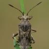 Ryškiapilvė kampuotblakė - Stictopleurus punctatonervosus | Fotografijos autorius : Gintautas Steiblys | © Macrogamta.lt | Šis tinklapis priklauso bendruomenei kuri domisi makro fotografija ir fotografuoja gyvąjį makro pasaulį.