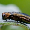 Siaurablizgis - Agrilus salicis | Fotografijos autorius : Oskaras Venckus | © Macrogamta.lt | Šis tinklapis priklauso bendruomenei kuri domisi makro fotografija ir fotografuoja gyvąjį makro pasaulį.