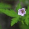 Sibirinis snaputis - Geranium sibiricum | Fotografijos autorius : Agnė Našlėnienė | © Macrogamta.lt | Šis tinklapis priklauso bendruomenei kuri domisi makro fotografija ir fotografuoja gyvąjį makro pasaulį.