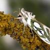 Sidabruotoji kukulija - Cucullia argentea | Fotografijos autorius : Vaida Paznekaitė | © Macrogamta.lt | Šis tinklapis priklauso bendruomenei kuri domisi makro fotografija ir fotografuoja gyvąjį makro pasaulį.