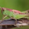 Skėriuko - Omocestus sp. nimfa | Fotografijos autorius : Gintautas Steiblys | © Macrogamta.lt | Šis tinklapis priklauso bendruomenei kuri domisi makro fotografija ir fotografuoja gyvąjį makro pasaulį.