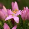 Skėtinė širdažolė - Centaurium erythraea | Fotografijos autorius : Ramunė Vakarė | © Macrogamta.lt | Šis tinklapis priklauso bendruomenei kuri domisi makro fotografija ir fotografuoja gyvąjį makro pasaulį.